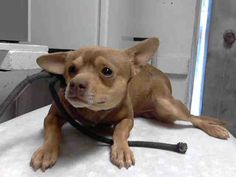 """((SUPER #URGENT)) HIGH #KILL SHELTER Please help """"BROWNIE"""" #Chihuahua Mix • Young • Male find a loving home. He's just a baby & doesn't understand why he's in that scary, loud place. But, he knows it's not good. PLS HELP SAVE/ SHARE/ #ADOPT/ #RESCUE this baby. ID#A4678199 L.A. County Animal Care Control: Carson Shelter #Gardena, #CA"""