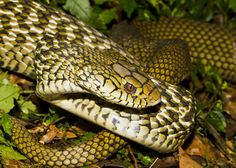 King Rat Snake (Elaphe Carinata)