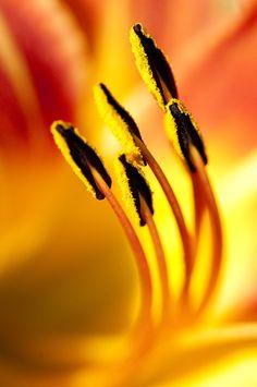 Stamen on a fiery sunlit petal background.