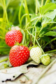 Realistic Graphic DOWNLOAD (.ai, .psd) :: http://jquery.re/pinterest-itmid-1006876431i.html ... strawberry ...  appetizing, background, beautiful, berry, delicious, dessert, diet, eating, edible, farm, food, fresh, freshness, fruit, garden, growing, health, healthiness, healthy, organic, red, strawberry, summer, sweet, tasty, vitamin  ... Realistic Photo Graphic Print Obejct Business Web Elements Illustration Design Templates ... DOWNLOAD :: http://jquery.re/pinterest-itmid-1006876431i.html