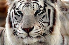 Beautiful tiger <3 BEAUTIFUL