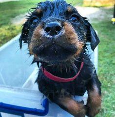 Wet Rottweiler puppy