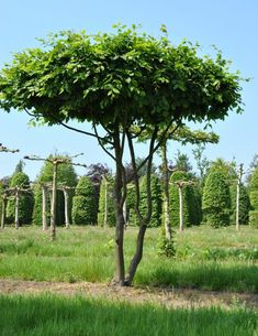 you are looking for shaped or espaliers, read our practical tips and discover our extensive range of lime trees, parasol-sycamores and many other species. Potted Fruit Trees, Trees To Plant, Fairy Garden Houses, Garden Trees, Small Gardens, Outdoor Gardens, Fairy Lights In Trees, Small Water Features, Fast Growing Trees