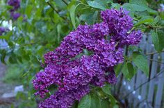 How to plant, grow and care for lilacs for fabulous fragrance in your cottage garden, FlowerPatchFarmhouse.com