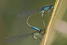 Damselflies, Mating Zygoptera