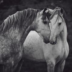 Sweet horse friends nuzzling.