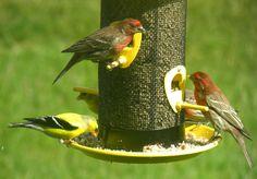 Five Festive Finches