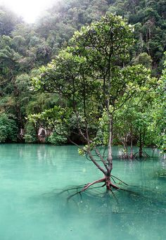 Mangroves in Koh Hong, Thailand. things to do in thailand, thailand travel tips Thailand Travel, Asia Travel, Krabi Thailand, Travel Tips, Laos, Places To Travel, Places To See, Wonderful Places, Beautiful Places