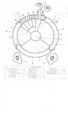 Cell Cycle Coloring Worksheet Answer Key Clever crafts