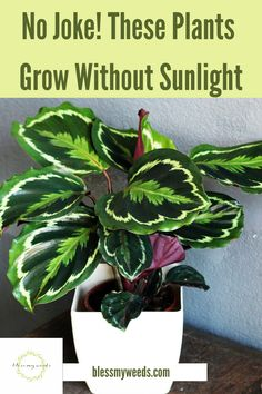 Nobody wants to live in a dark corner. But, there are some plants that not only want to, they actually thrive in the dark. Hard to believe but it is true. For a list of these awesome plants, that you can grow in your home even if it is a dark area, you need to keep reading. Now you will be able to add green to just about any room in your home. Green is good. #indoorplants #houseplants #growplantsinthedark #blessmyweedsblog Backyard Plants, Outdoor Plants, Indoor Garden, Garden Plants, Window Plants, Hanging Plants, Winter Floral Arrangements, Kitchen Plants, Apartment Plants