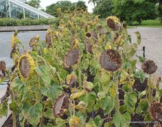 After sunflowers start to whither their seeds are released, Kew Gardens