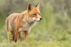 Vos ( Fox) by ritatheisen #animals #animal #pet #pets #animales #animallovers #photooftheday #amazing #picoftheday