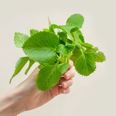 """Oregano kubánské (lat. Plectranthus amboinicus) - Asijské bylinky """"ZÁSADNĚ"""" ZDRAVĚ Parsley, Tofu, Plant Leaves, Plants, Grasses, Plant, Planets"""