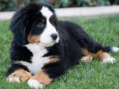 4 Dog Puppy Bernese Mountain Greeting Notecards/ by ASLICEINTIME, $6.99