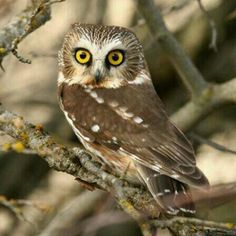 Temporary infatuation...northern owl.
