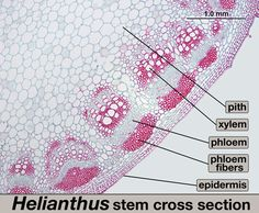 cells under a microscope - Google Search