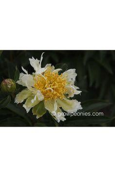 Green Lotus Peony growpeonies.com