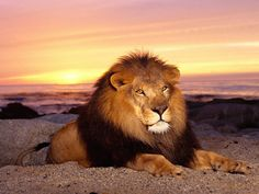 Leão deitado na areia e por do sol #leoes leao areia leao sol