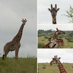 Nairobi National Park Nairobi, Giraffe, National Parks, Animals, Felt Giraffe, Animales, Animaux, Giraffes, Animal