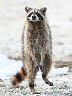 Raccoon by Kenneth Cole Schneider on Flickr.