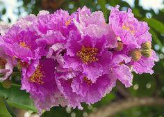 อินทนิลน้ำ (ตะแบก) (Queen's flower)