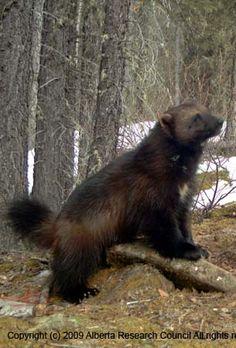 sharon austin guloggratis Beautiful Creatures, Animals Beautiful, Wolverine Animal, Different Types Of Animals, Amur Leopard, Power Animal, Wolverines, Black Bear, Big Cats