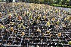 semillero de roble americano. http://www.plantamus.es/venta-de-arboles-plantacion-plantones