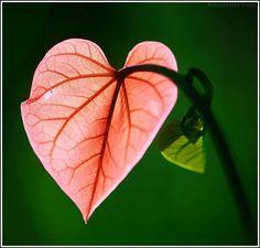 heart shaped leaf | By Bolucevschi Vitali
