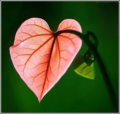 heart shaped leaf   By Bolucevschi Vitali