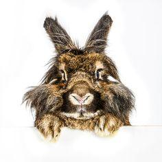 September 15, 2014 - His Name is Geronimo - Lionhead Rabbit  2014@Barbara O'Brien Photography
