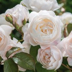 Rosa 'Desdemona' - peachy pink buds open to pure white chalice shaped blooms; excellent repeat flowering; strong myrrh fragrance; 4 x 3ft; introduced by David Austin Roses in 2015