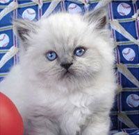 Blue Point Himalayan Kittens