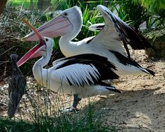 Australian Pelicans and Bush Thick-knee.. https://www.facebook.com/EllyJackmanPhotography