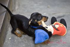 too cutes puppies images | The Long and Short of it All: A Dachshund Dog News Magazine: June 2011