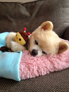 Nighty-night Pomeranian, Shunsuke 俊介君 OMH so sweet! Cute Teacup Puppies, Cute Dogs And Puppies, Baby Puppies, Baby Dogs, Pet Dogs, Dog Cat, Super Cute Animals, Cute Funny Animals, Cute Baby Animals