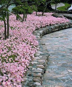 Gartenpflanze Rosa Nachtkerze