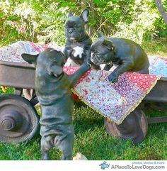 Frenchie babies!!!
