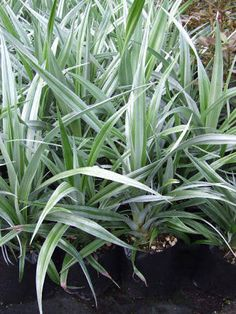 nz native Astelia chathamica 'Silver Spear'