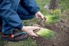 Aj pažítka zo supermarketu môže prežiť. Vysaďte ju na záhon | Záhrada.sk Herbs, Composters, Herb