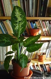 Como cuidar de plantas em vasos - comigo ninguem  pode