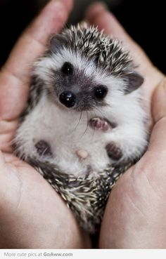 AWWWWW  LOOK AT THIS BABY HEDGE HOG!!!!!!! LOOK AT IT!!!!