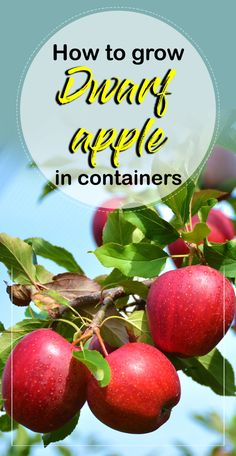 Growing condition Apple tree, How to grow Apple tree in a container, Apple tree care, Pests, and diseases Apple tree. How to grow in the container. Dwarf Fruit Trees, Fruit Plants, Fruit Garden, Garden Soil, Pot Plants, Terrace Garden, Garden Spaces, Garden Art, Container Herb Garden