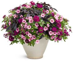 Petunia, Sweet Potato Vine, and Verbena Porch pot inspiration!