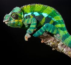 Panther chameleons come from the eastern and northern parts of Madagascar Chameleons For Sale, Types Of Chameleons, Reptiles And Amphibians, Mammals, Madagascar, Chameleon Terrarium, Underground Reptiles, Colorful Lizards, Chameleon Lizard