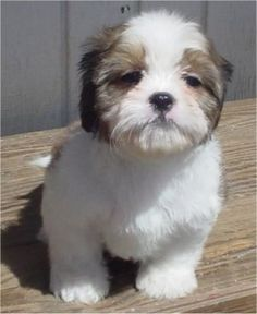 ... old Cava-Tzu puppy (Cavalier King Charles Spaniel / Shih-Tzu mix) More