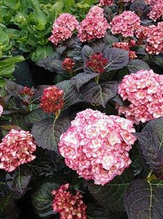 Serenity in the Garden: Plant of the Year - Chelsea, 2014 - Miss Saori Hydrangea