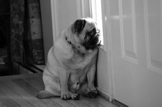 Mr. Pug waits for you to come home from work