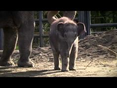 Two-month-old female Asian elephant calf Lily plays in the Oregon Zoo elephant habitat with her mother Rose-Tu, big brother Samudra and aunts Shine and Chendra.