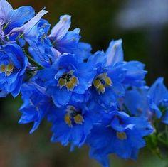 Dark Blue Flowers | Wholesale Flower Images > Hyacinthus > Delphinium Dark Blue