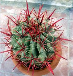 Ferocactus wislizenii var. herrerae